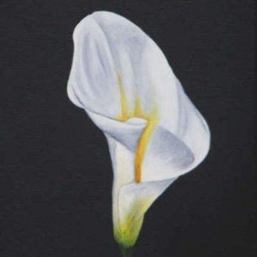 peace white calla lily
